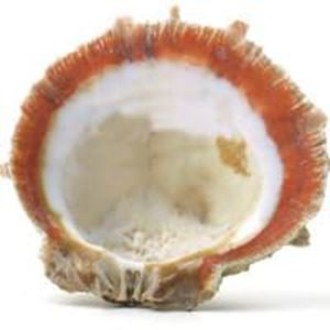 Picture of Rough Spiny Oyster Shell