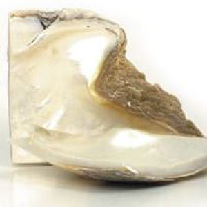 Picture of Rough Mother Of Pearl Goldlip Shell Nub
